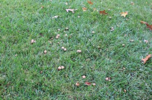 Acorns lying in the front yard